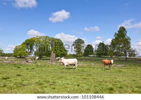 Cows grazing on a summer meadow
