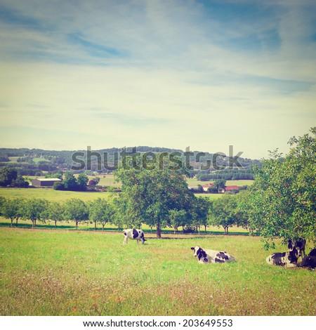 Cows Grazing on Alpine Meadows in France, Instagram Effect