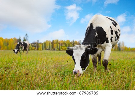 Cows grazing on an autumn meadow