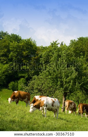 Cows grazing on green meadow. Lots of blue sky for your text.