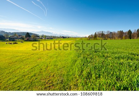 Cows Grazing on Green Pasture in Switzerland