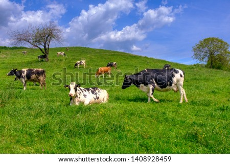 Cows grazing on pasture, a herd of black and white cows mixed with brown and white cattle, farming, dairy and agriculture concept, vibrant colors
