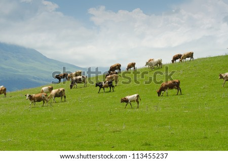 Cows grazing on the green field