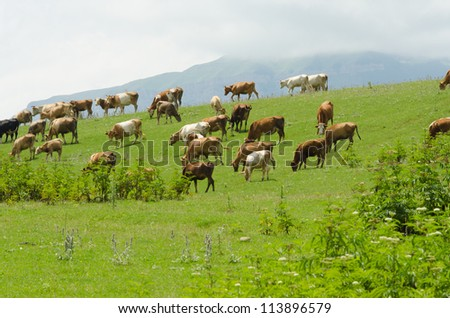 Cows grazing on the green field - stock photo