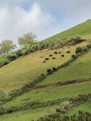 Cows grazing on the steep slope facing the town of Santa Cruz das Flores, surrounded by green fields. Flores Island.