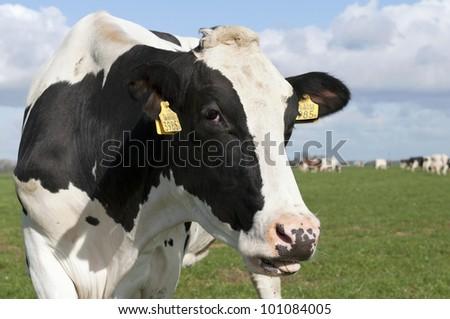 cows head on sunny farmland - stock photo