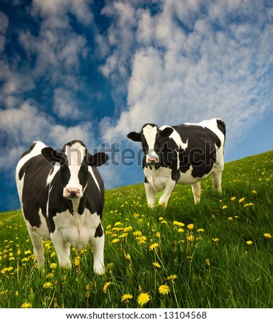 Cows in a beautiful dandelion covered field.