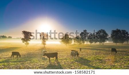 Cows in a Cornfield #158582171