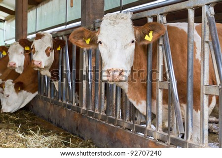 Cows in a cow shed ストックフォト ©