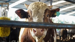 Cows in a farm. Dairy cows. Cowshed. Breeding of cows in free livestock stall. animal breeding
