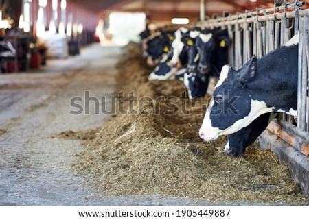Cows in a farm. Dairy cows. fresh hay in front of milk cows during work. Modern farm cowshed with milking cows eating hay