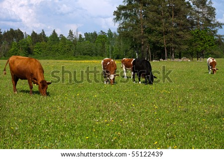 stock photo : Cows in a field, cows eat grass;