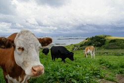 Cows in a field on Herm Island, Guernsey