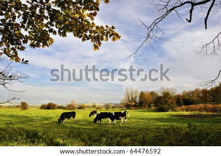 Cows in a meadow, english countryside landscape