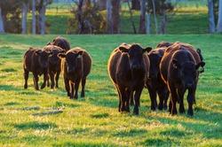 Cows in a paddock near Marysville in the Shire of Murrindindi in Victoria, Australia