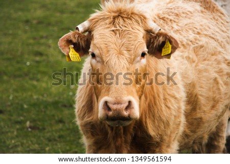 Cows in a small field found on the small Omey Island, off the coast of County Galway in Ireland. #1349561594