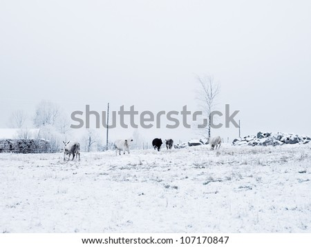 Cows in a snow covered landscape, Sweden.
