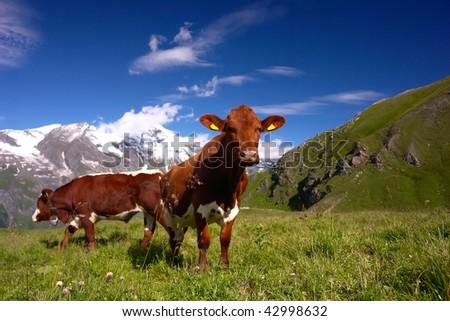Cows in Austrian Alps - stock photo