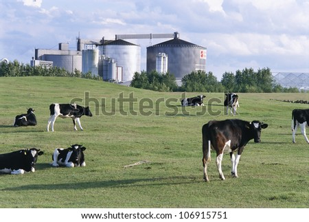 Cows in front of a factory, Osterlen, Skane, Sweden.