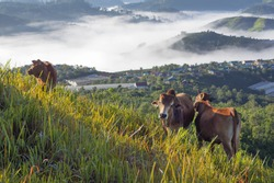 Cows in green plateau with beautiful houses rural and magic fog at the sunrise