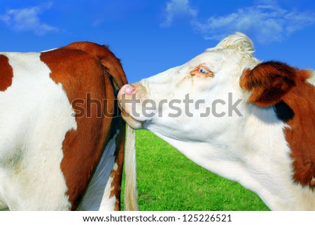 Cows in series