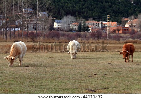Cows in the country,Aragon,Spain