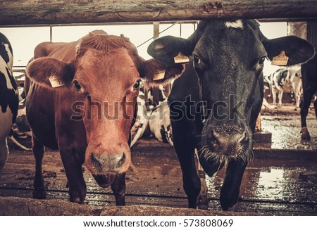 Cows in the cowshed in dairy farm