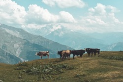 Cows in the mountains in Svaneti region, Georgia, Asia. Snowcapped hills in the background. Summer mountain landscape. Blue sky with clouds above. Georgian travel destination.