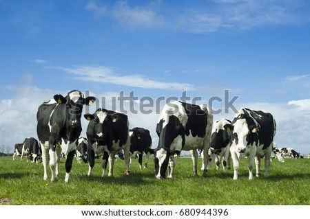 Cows in the Netherlands #680944396
