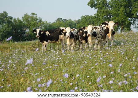 Cows in the pasture