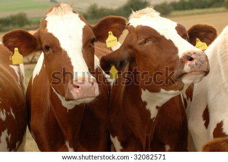 Cows in the pasture. Arrogant neighbor.