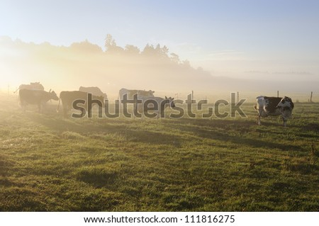 Cows in the sunlight