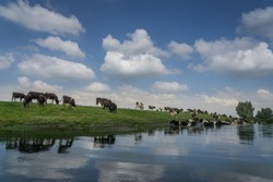Cows in the water. A pasture against the background of a cloudy sky. Green river bank.