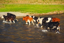 Cows in the water. Cows in the river. Riding of cattle. Cows wade cross the river in the countryside