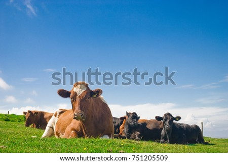 Cows Lying Down in a Green Pasture.