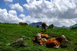 cows lying in a green lush meadow in the mountains detail view