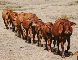 Cows Marching in a line