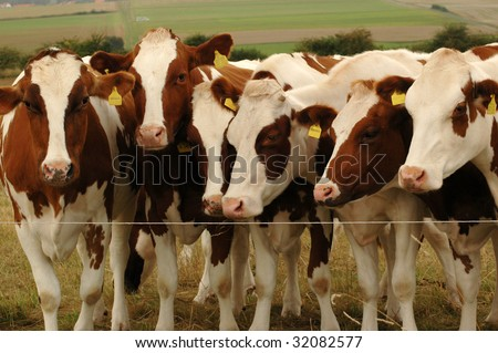Cows Near An Electric Fence Stock Photo 32082577