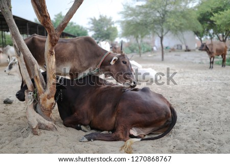 Cows of holy ground Vrindavan. Goshala #1270868767