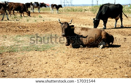 cows on a barren land