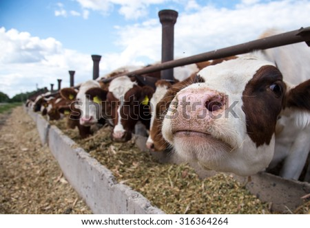 Cows on a farm Stockfoto ©