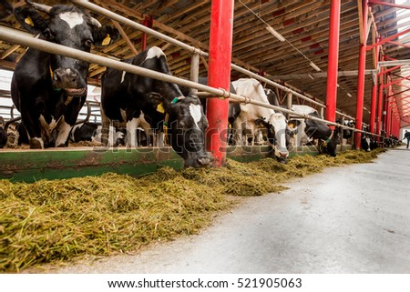 Cows on a farm eating grass, cattle, hay #521905063