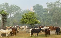 Cows on a farm India.