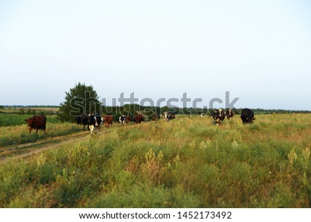Cows on a farmland in Ukraine #1452173492