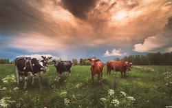 cows on a Finnish pasture