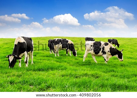Cows on a green field and blue sky. #409802056