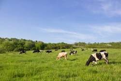 Cows on a green field,grazing on the green grass of a cows farmer, a beautiful cow landscape in the field in the summer