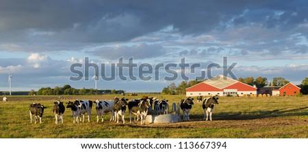 Cows on a Swedish farm