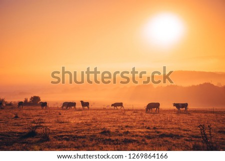 Cows on autumn morning pasture #1269864166