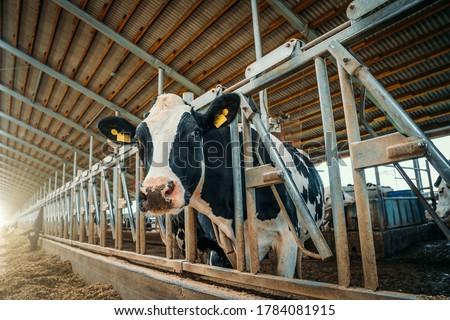 Cows on dairy farm. Cows breeding at modern milk or dairy farm. Cattle feeding with hay.